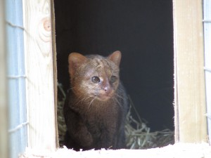One of our two new Jaguarundi.